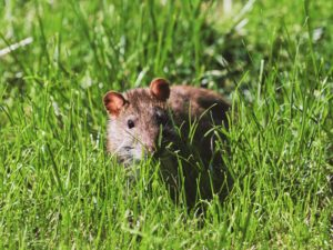 A Cute little mouse in the grass